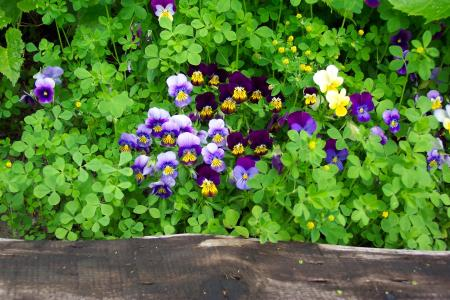 中提琴, 紫罗兰色, 紫色, 黄色, 花园, 花