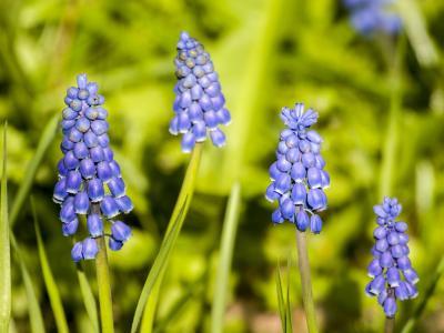 风信子, 花, 开花, 绽放, 植物, 自然