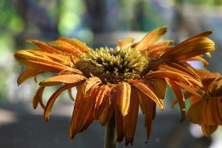 黛西, 花, 自然, 非洲菊, 绽放, 开花, 夏季