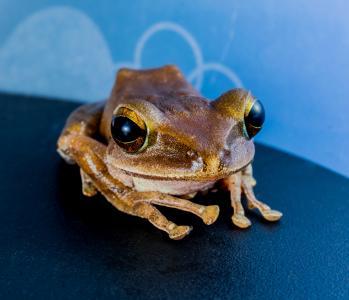 树蛙, anuran, 青蛙, 两栖类动物