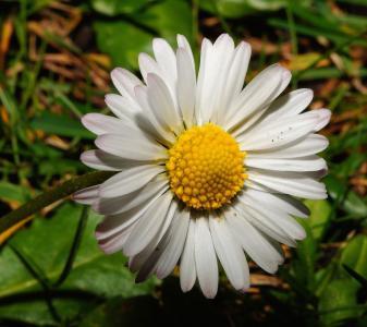 黛西, 花, 开花, 绽放, 关闭, 自然, 花园