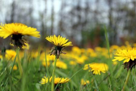 蒲公英, 自然, 春天, 花, 黄色的花, 绽放, 野花