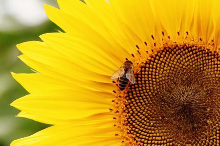 太阳花, 蜜蜂, 夏季, 花园, 开花, 绽放, 黄色