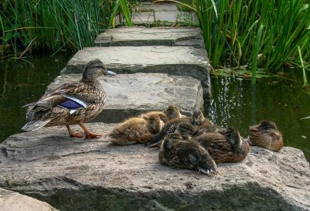 鸭子家庭, 鸭子, 鸭, 动物, 水, 自然, 野生