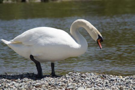 天鹅, 白色, 银行, 鸟, 水, 水鸟, 动物