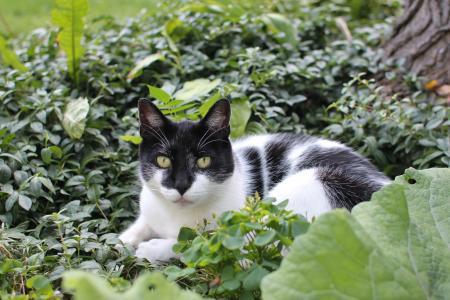 猫, 黑色, 白色, 花园, 灌木丛, 动物, 猫科动物