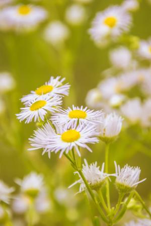 洋甘菊, 花, 草甸, 药材, 植物, 真正的洋甘菊, 白色