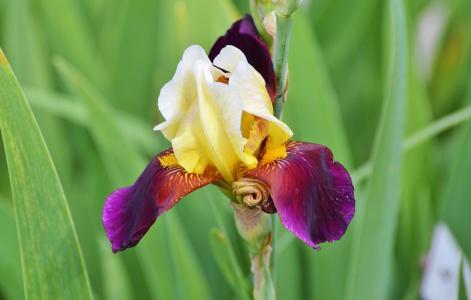 虹膜, 花, 百合, 开花, 绽放, 鸢尾, 植物
