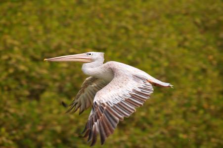 鹈鹕, 鸟, 飞行, 乌鸦苍蝇, 动物, 野生动物, 自然