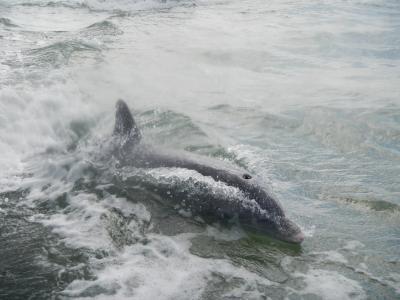 海豚, 佛罗里达州, 哺乳动物, 海洋, 鳍状肢, 海洋, 海