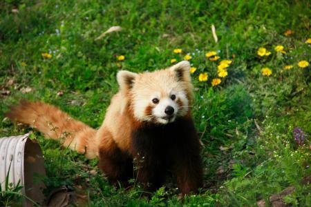 小熊猫, 动物, 教育部