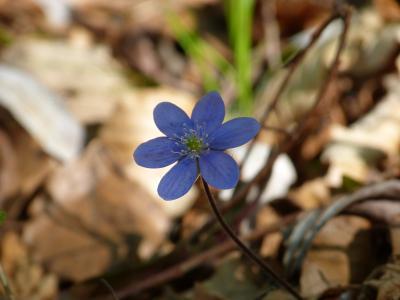 肝, 花, 开花, 绽放, 紫罗兰色, 紫色, 肝鳙