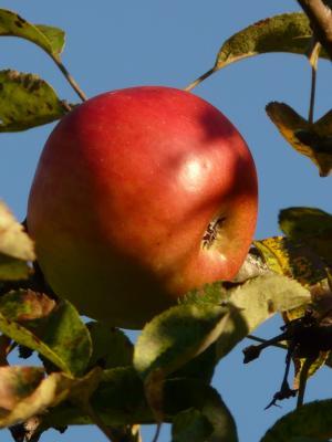 苹果, 水果, 树上苹果, 成熟, 红色, 甜, 美味