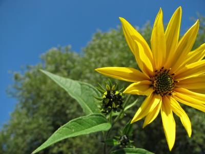 向日葵, 花, 黄色, 开花, 夏季, 自然, 植物