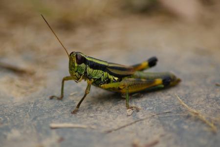 蚱蜢, 板球, 绿色, 自然, 昆虫, 关闭, 小