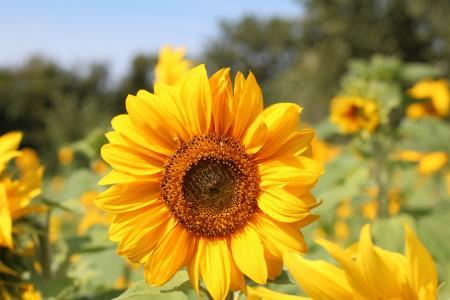 生日花束, 太阳花, 向日葵田, 光明, 花, 黄色的花, 关闭