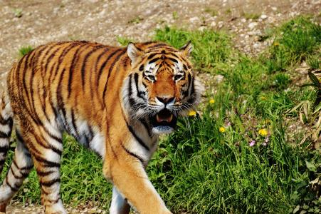 老虎, 捕食者, 毛皮, 美丽, 危险, 猫, 野生动物摄影