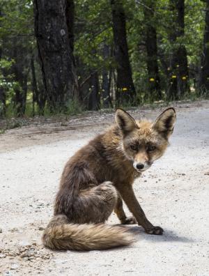 狐狸, 动物, 动物群, 哺乳动物
