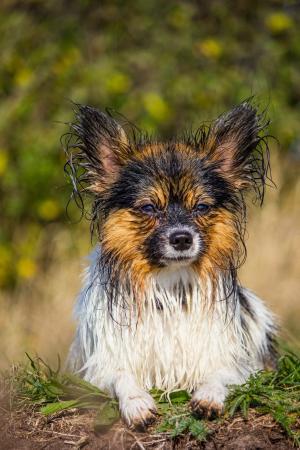 巴比龙, 小狗, 湿法, 狗, 甜, 宠物, 可爱