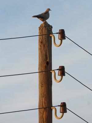 斑鸠, 电杆, 电源线, 老, 过时的, 绝缘子