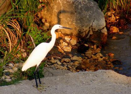 鸟类, 白鹭, 湖, 阴影, 鸟, 自然, 野生动物