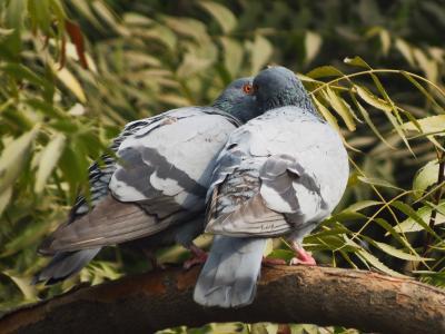 鸟类, 鸽子, siva301in, 鸟, 鸽子, 动物, 自然