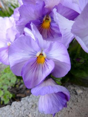 三色堇, 花, 春天的花朵, 紫色三色堇, 自然, 植物区系, 春天