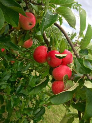 苹果, 树上苹果, 红红的苹果, 水果, 水果