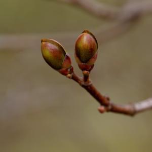 自然, 春天, 一个新的开始, 花蕾, 枫树