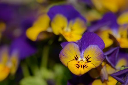 三色堇, 紫罗兰类, 花, 紫罗兰色, 绽放, 春天, 关闭