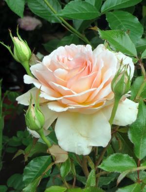 粉色, 茶, 酒渣鼻, 茶玫瑰, 美, 植物学, 气味