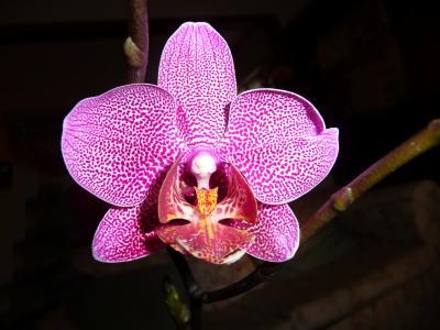兰花, 蝴蝶兰, 花, 紫色, 景点, 充满活力