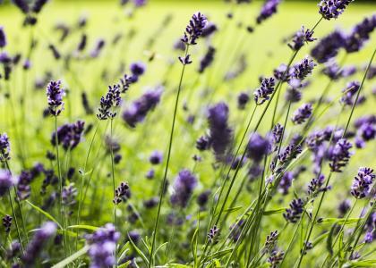 熏衣草, 花, 植物, 开花, 绽放, 花园, 自然