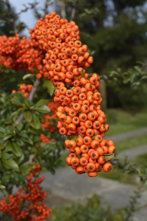 浆果, 水果, 橙色, 树, 秋天, 罗文