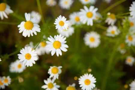 开花, 光明, 洋甘菊, 洋甘菊, 黛西, 字段, 植物区系