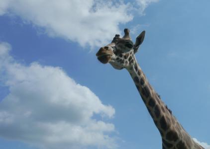 长颈鹿, 非洲, 塞伦盖蒂, 天空, 蓝色, 云彩, 长颈鹿从底部