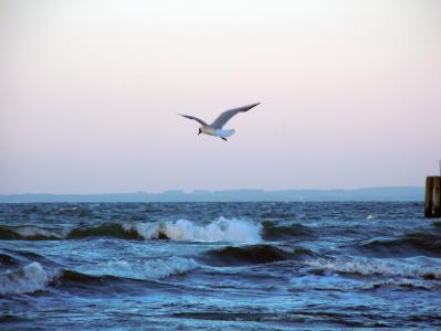 波罗地海, 海鸥, 飞, 鸟, 波
