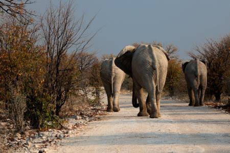 大象, 博茨瓦纳, 荒野, 道路, 干旱, 野生动物, 在野外的动物