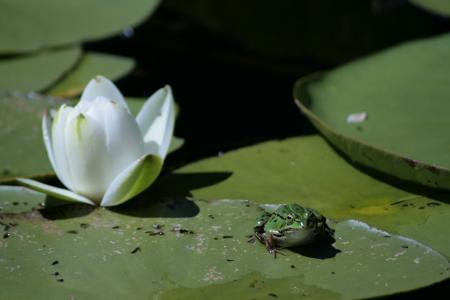 青蛙, 莲花, 绿色, 水