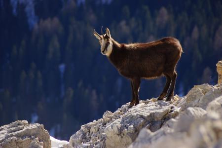 羚羊, 白云岩, 山, 动物, 阿尔卑斯山, 喇叭, 意大利