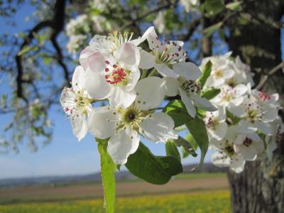 苹果树上的花, 树上苹果, 分公司, 夏季, 自然, 开花, 绽放
