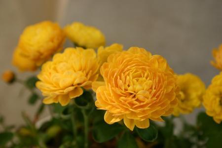 菊花, 花, 秋天, 植物, 宏观, 花, 植物区系