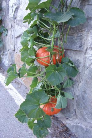 南瓜, 叶子, 水果, 自然, 颜色, 选择, 食用