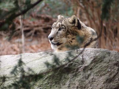 雪豹, 豹, 动物, 森林