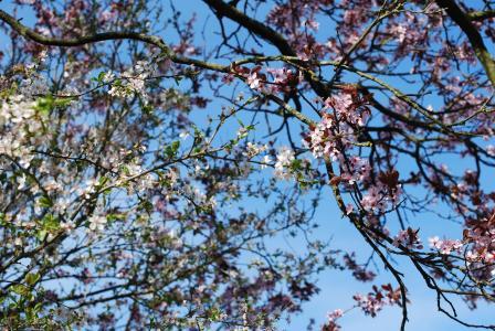 樱桃, 开花, 樱花, 树, 春天, 粉色