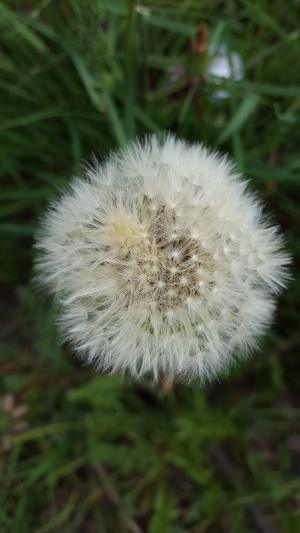 蒲公英, 绒毛, 花, 自然, 特写, 植物