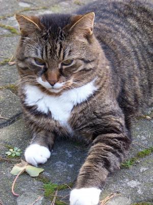 猫, 家猫, 鼻子, 猫的眼睛, mieze, 阿迪达斯, 很好奇