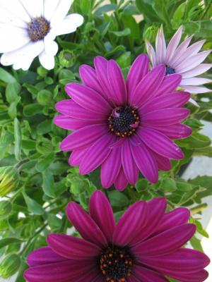 非洲菊, 花, 粉色, 白色, 绿色, 洋红色, 花冠