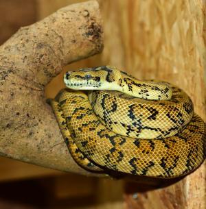 蛇, python, 树蟒, 水晶球, 关闭, 大蟒蛇, 爬行动物