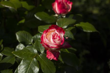 上升, 自然, 玫瑰绽放, 红玫瑰, 花园里的玫瑰